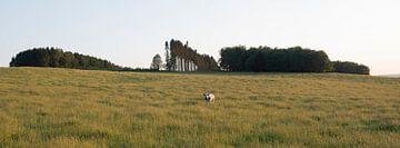 Kuh in Abendlandschaft mit Silhouette von dunklen Kiefern in den belgischen Ardennen von anton havelaar