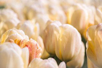 Veld van gele tulpen en een oranje tulp van Laura Weemering