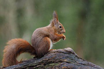 Eekhoorn in de regen van Astrid Brouwers
