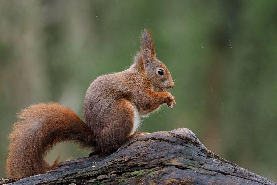 Eekhoorn in de regen