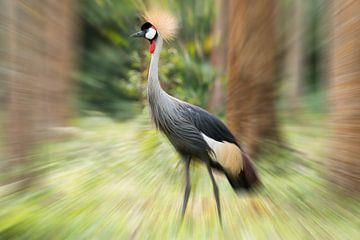 Kronenkranich in Uganda van Britta Kärcher