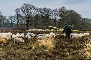 herder en schapen