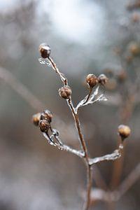 ijzig plantje  van