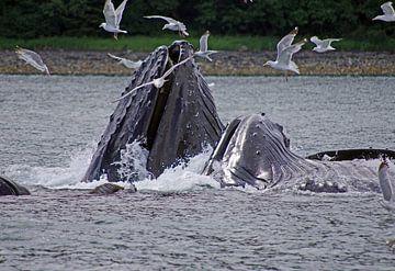 Buckelwale auf der Jagd von Reinhard  Pantke