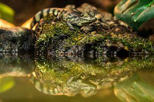 Jonge Brilkaaiman - Caiman crocodilus