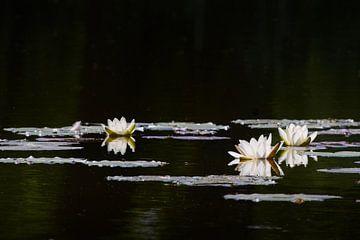 Waterlelies sur Richard de Boorder