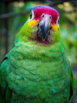 Portret van een groene papegaai (parrot) in de Centraal Amerikaanse jungle van Michiel Dros