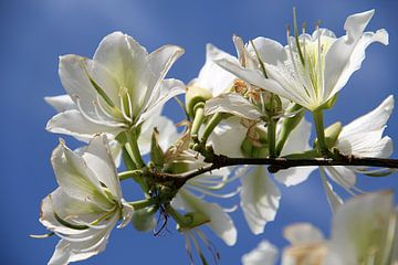 The White Tree Blossom sur Cornelis (Cees) Cornelissen