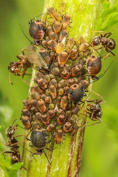 Bladluis invasie met mieren van Amanda Blom
