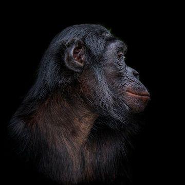 Bonobo zijkant profiel foto van Ron Meijer