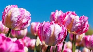 Tulpen von Andre Sonderman