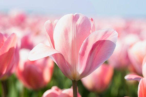 De schoonheid van bloemen, roze tinten 2 van Wendy Tellier - Vastenhouw