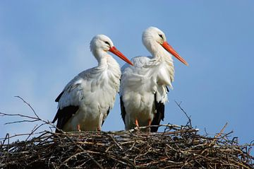 Ooievaarspaar op nest van Beschermingswerk voor aan uw muur