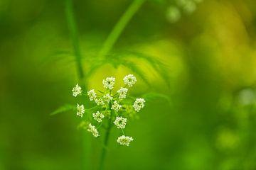 Fluitekruid in bloei