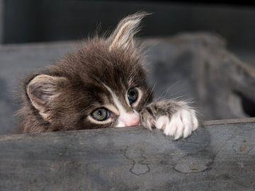Kitten serie II van Rob Smit