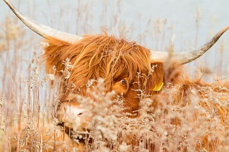 Natuur | Schotse Hooglander  Eiland Tiengemeten