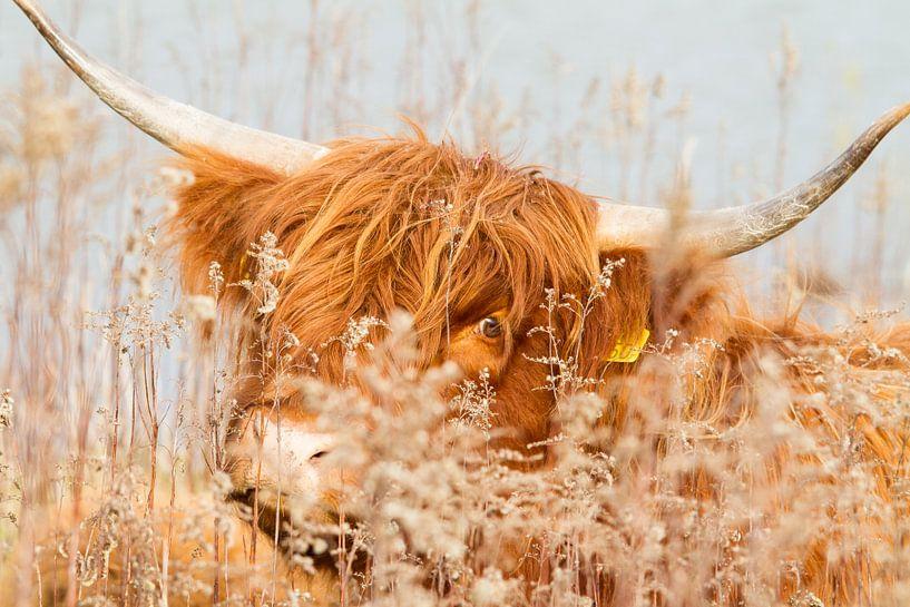 Natuur | Schotse Hooglander -  Eiland Tiengemeten van Servan Ott