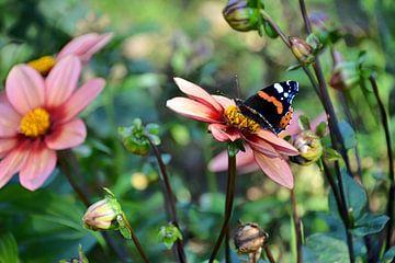 Ein Schmetterling ernährt sich von den Pollen einer Dahlie.