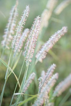 Fuchsschwanz Gras von Silvio Schoisswohl