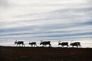 Rendieren in het noorden van Zweden van Lars-Olof Nilsson