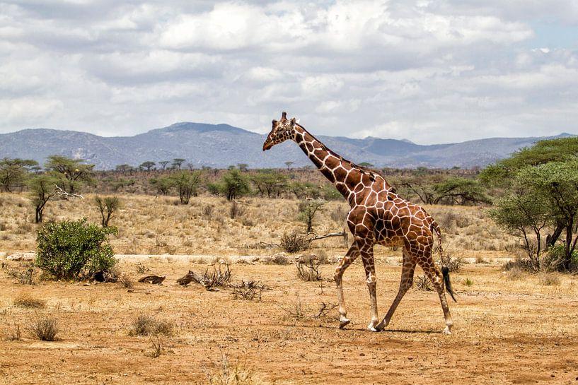 Somalische Giraffe (Giraffa camelopardalis reticulata) man lopend door Samburu Nationaal Park, Kenia van Nature in Stock