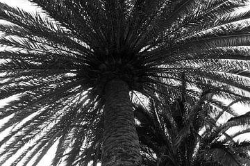 Palmboom in zwart-wit von Anita van Hengel