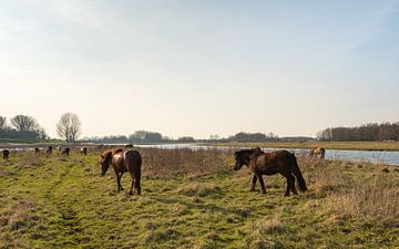 Halfwilde IJslandse paarden in natuurgebied van Ruud Morijn