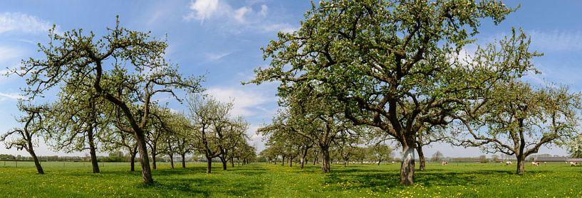 Appelbomen in een boomgaard panorama van Sjoerd van der Wal