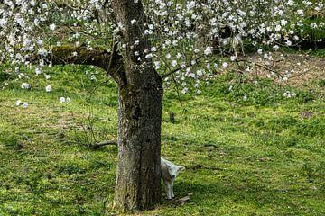 Lamm unter Obstbaum mit Blüte. von Carin IJpelaar