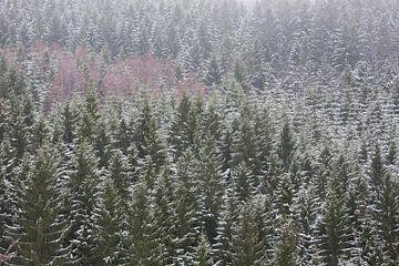 Naaldbos met berken en sneeuw van Michel Lucas