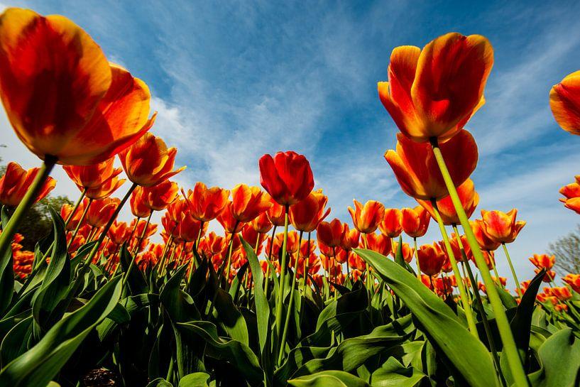 Tulips from Amsterdam van Brian Morgan