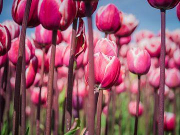 Paarse Tulpen van Martijn Tilroe