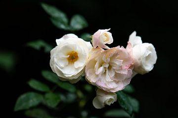 witte rozen van