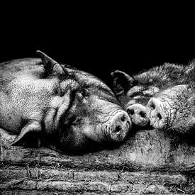 Wildschwein-Siesta von kuh-bilder.de