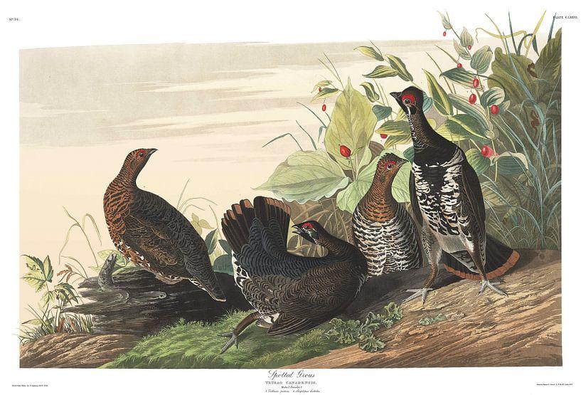 Bossneeuwhoen van Birds of America