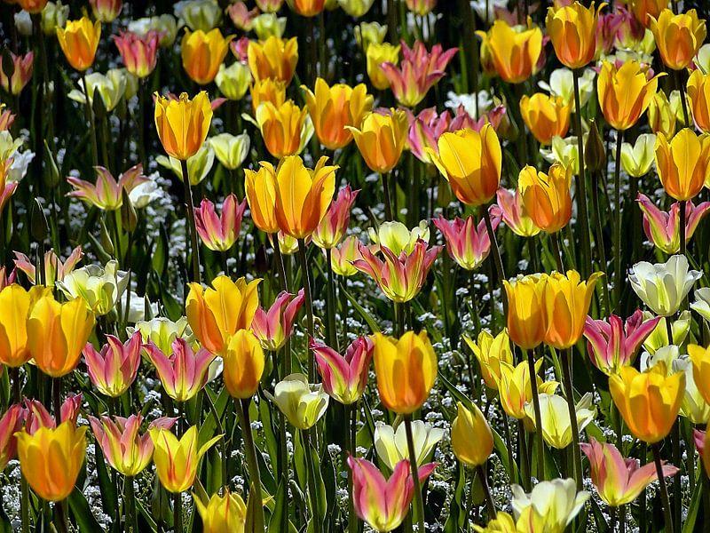 Tulpenwiesen van Renate Knapp