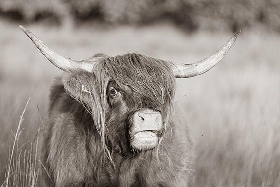 Schotse hooglander sepia