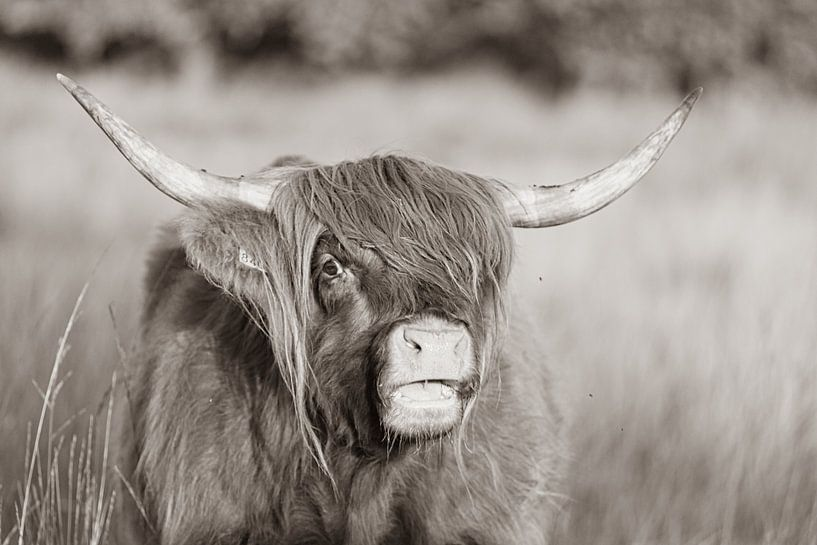 Schotse hooglander sepia van Anneke Hooijer