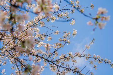 bloesem voor blauwe lucht van Ivana Luijten