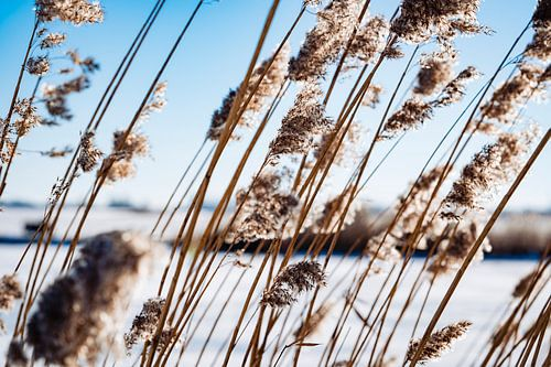Riet in de winter