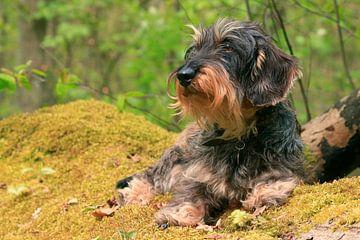 Portret van een ruwharige teckel in het bos van