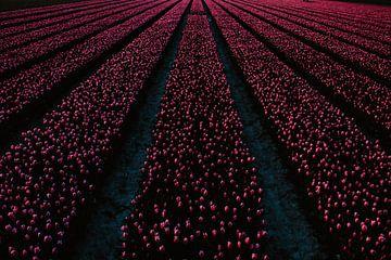 Tulpenvelden van Franklin Verbeek