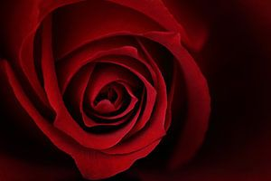 Red Velvet Rose Macro
