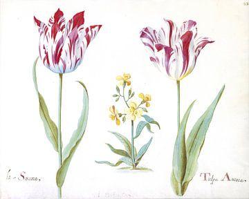 Zwei Tulpen mit einer Pflanze aus der Familie der Kreuzblütler, Jacob Marrel