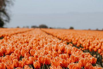 Het oranje tulpenveld ( Das orangefarbene Tulpenfeld) von Maria elican