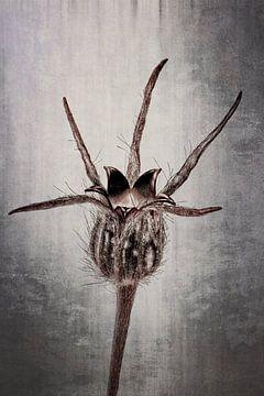 Kornrade - Agrostemma githago von Christophe Fruyt