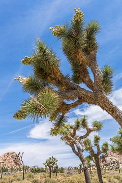 Impression aus dem Joshua Tree National Park von Melanie Viola