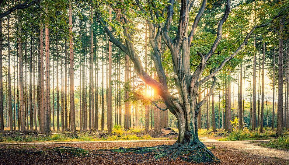 Boom in tegenlicht in het bos van Bakkeveen van Martijn van Dellen