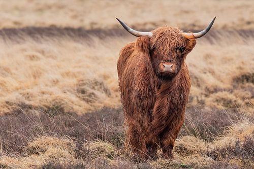 Schotse hooglander op een regenachtige dag.