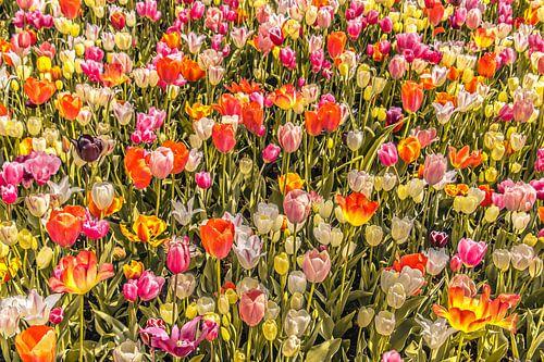 Tulpenveld vol kleuren